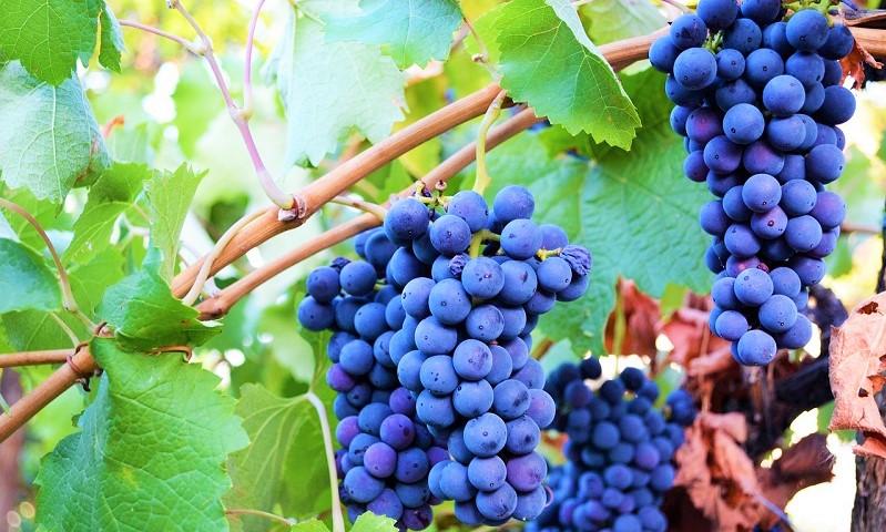 i vitigni della Calabria, il Magliocco