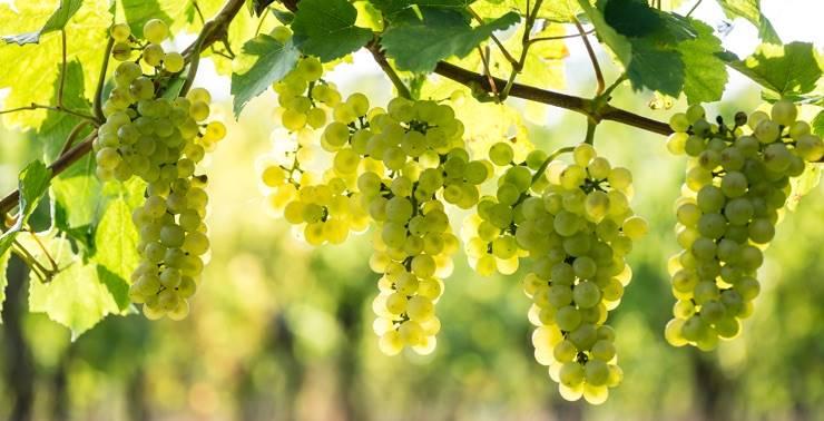 Uve vitigni lombardi