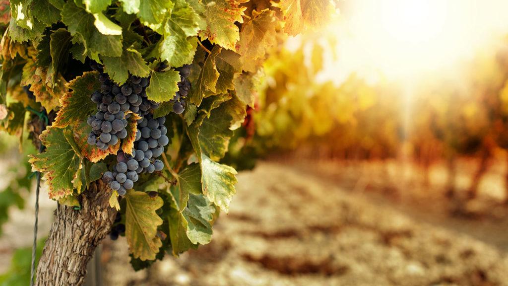 I vigneti d'Abruzzo, grappolo d'uva