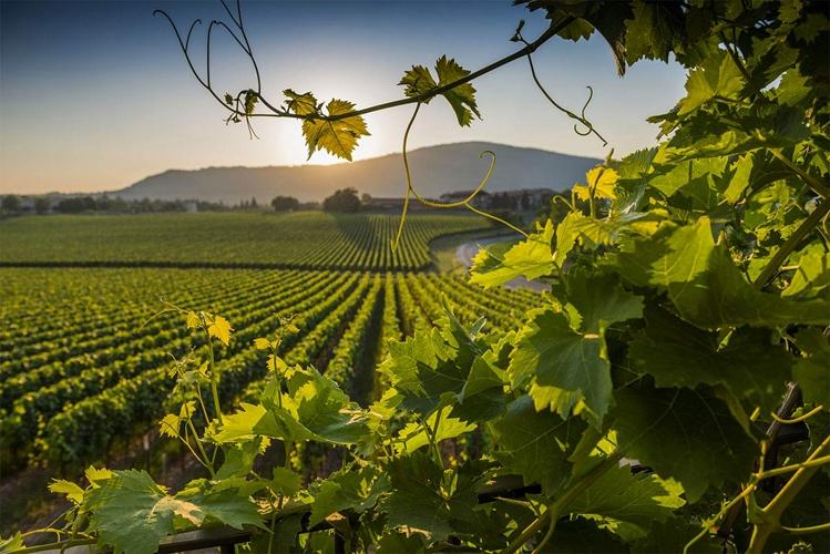 i vitigni della Toscana